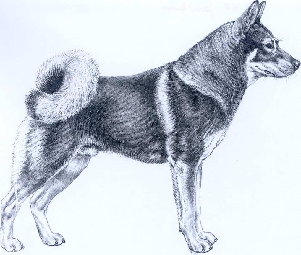 Perro cazador de Alces Sueco